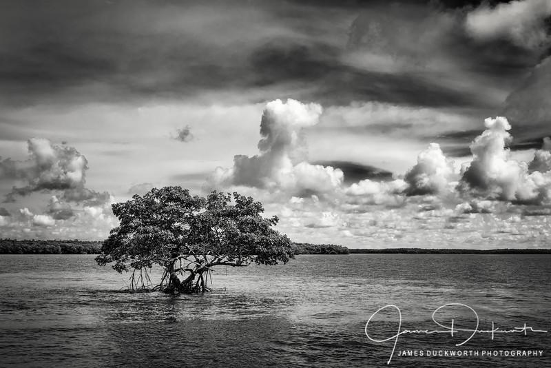 Mangrove in the Ten Thousand Islands, Florida