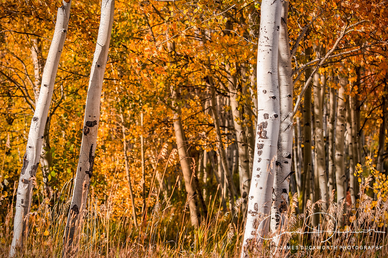 Vail Aspens in the Fall