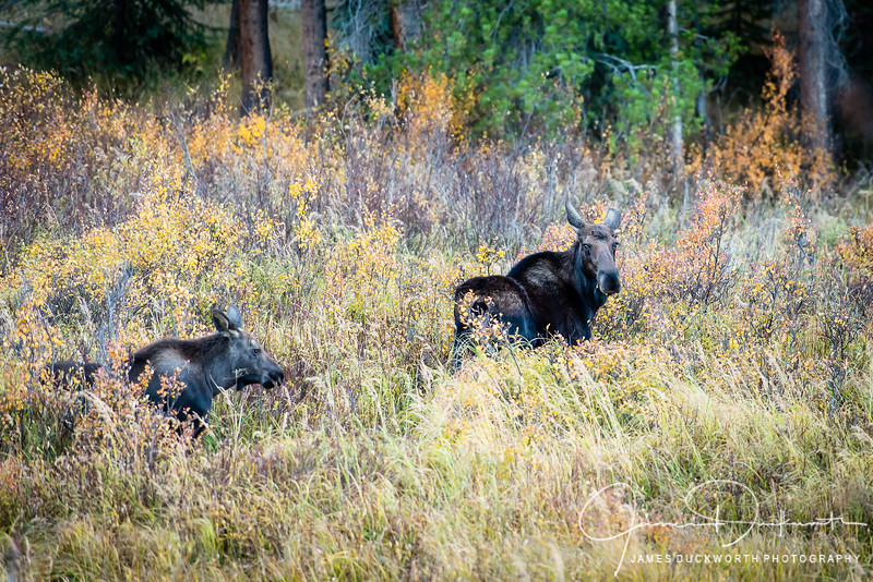 Moose in Eagles Nest Wildness Area
