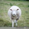 Lamb grazing in the field of the stone henge at Avebury, UK