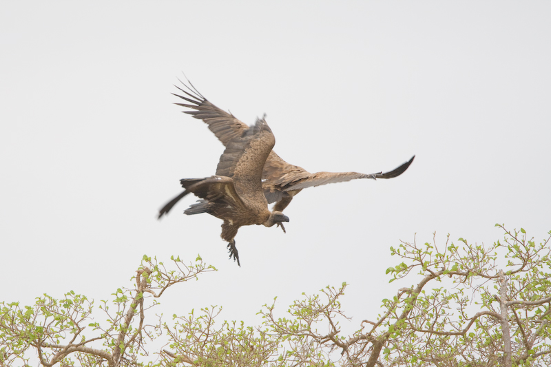 Two Vultures in a mid-air fight