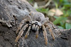 Golden Brown Baboon Spider