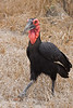 Southern Ground Hornbill.