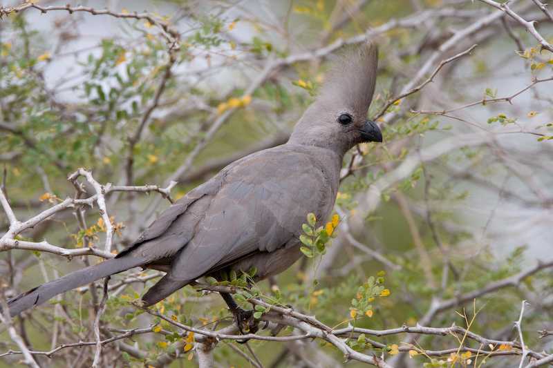 """The Grey Go-Away Bird got its name based on its call which sounds like """"go away, go away"""".   Previously known as The Grey Lourie."""