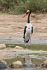 Male Saddle-Billed Stork