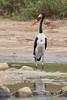 Male Saddle-Billed Stork
