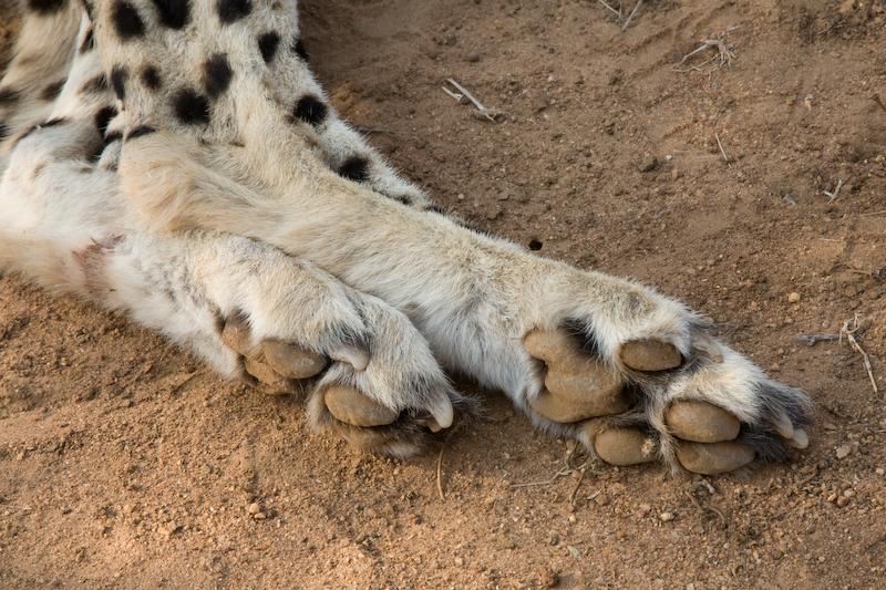 Cheetah paws.