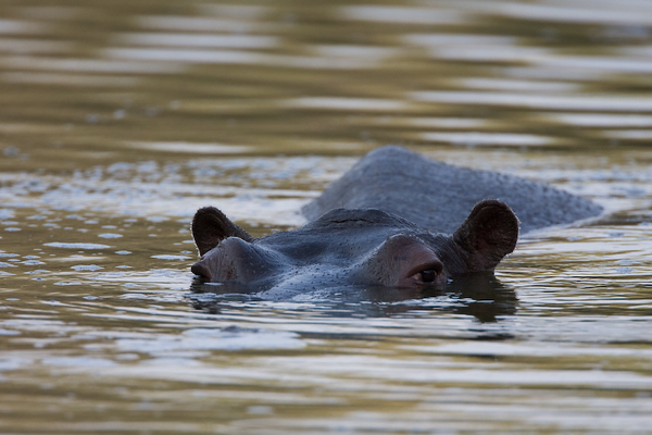 Curious Hippo looking at the humans
