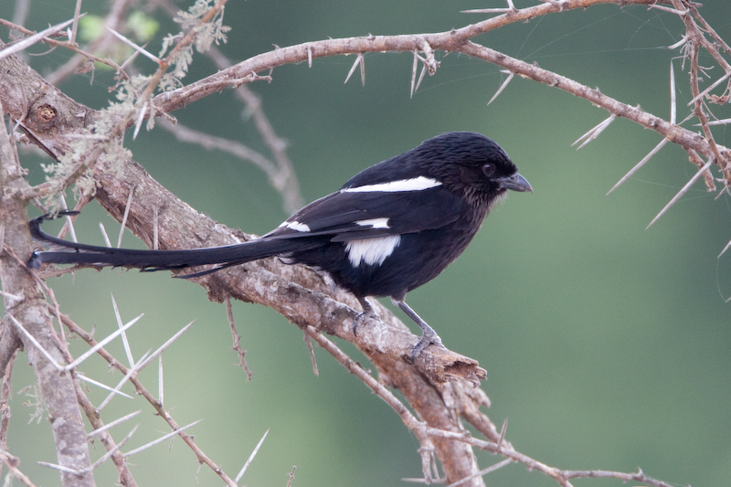 African Longtailed Magpie Shrike