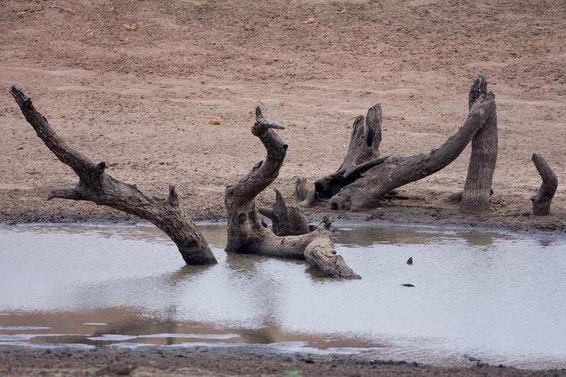 Dead trees along Ordon Road in Kruger Park