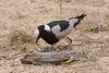 Blacksmith Lapwing with eggs