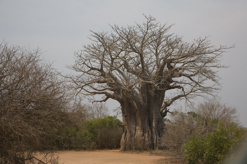 This is the southern-most Baobob Tree known