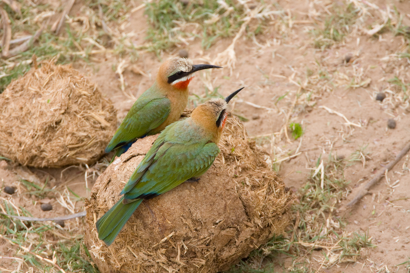 White -Fronted Bee-Eaters on Elephant Dung