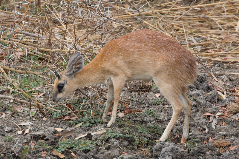 Extremely rare Sharpe's Grysbok