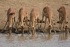 Impala at water hole