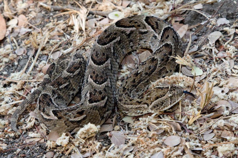 The Puff Adder has excellent camouflage.