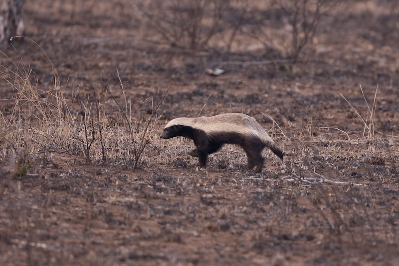 Rare Honey Badger