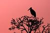 Marabou Stork at sunset.