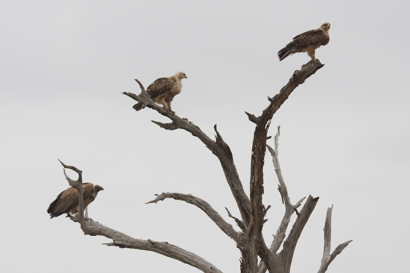Vulture and eagles