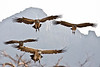 Vultures come in for a landing
