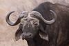 Old Cape Buffalo