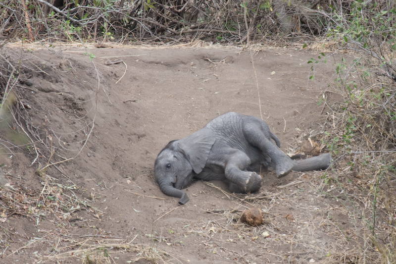 At first we thought this baby elephant was hurt, but he was just playing on the sandy slope.