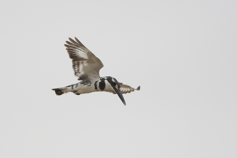 Hovering Pied Kingfisher.