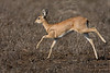 Steenbok on the run