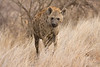 Female Spotted Hyaena