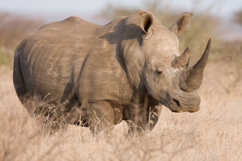We watched this Rhino for about an hour.   No one else drove by so we had him to ourselves.