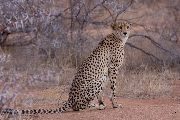 My first wild cheetah