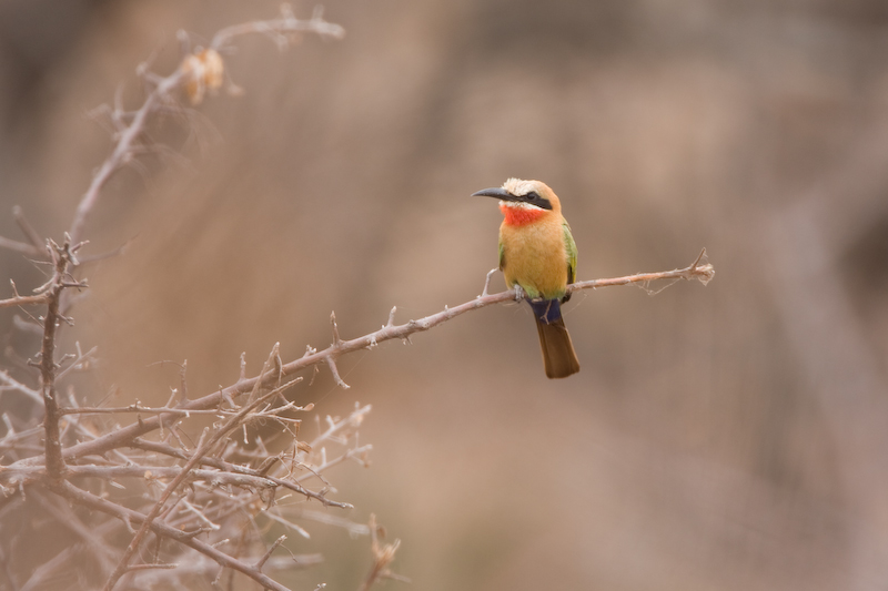 White-Fronted Bee-Eater.