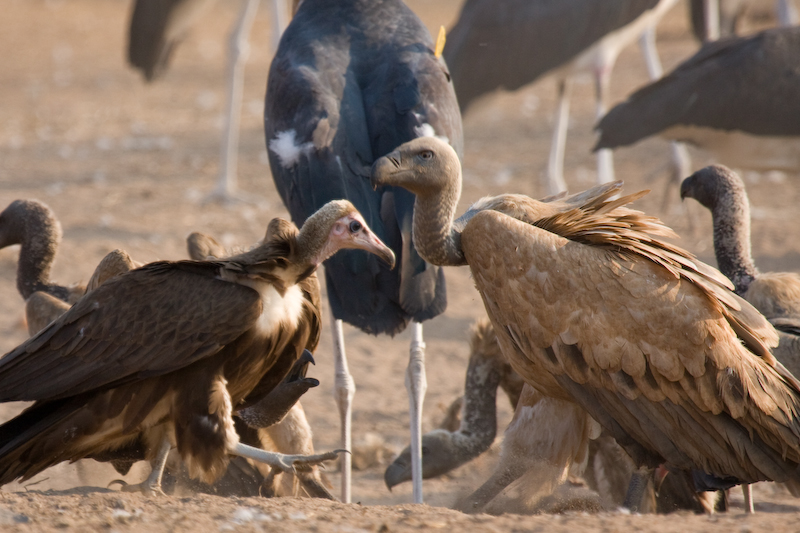 Hooded Vulture & Cape Griffon Vulture