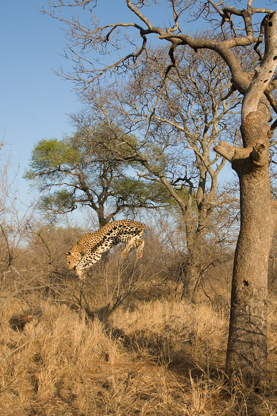 Leopard jumping out of a tree.    I estimate the drop at about 7 metres but I wasn't going to climb up the tree to measure it.