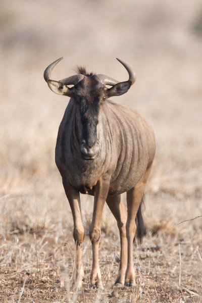A Wildebeest stares me down.