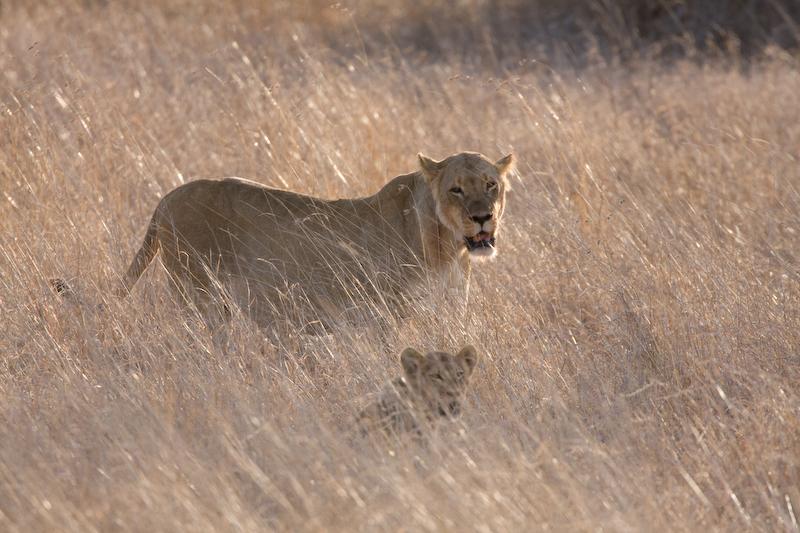 Lioness & cub in tall grass