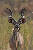 Male Greater Kudu