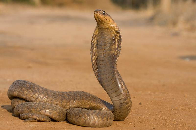 The Snouted Cobra has a potent neurotoxic venom.  Fortunately few people are bitten due to its shy, elusive nature.   Taken by remote control