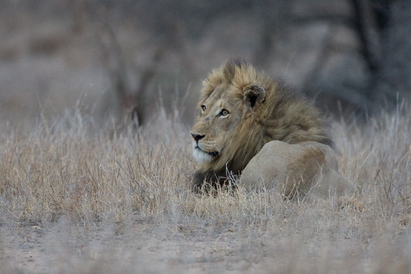 Male Lion.   It was getting late in the day so I was lucky to get this shot.   ISO 1600, Canon 40D, Canon 500mm lens, 1/40 second, f/4.0.