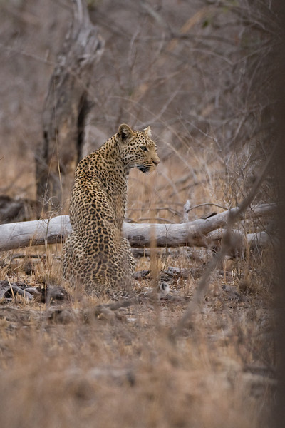 The leopard as she moves away.