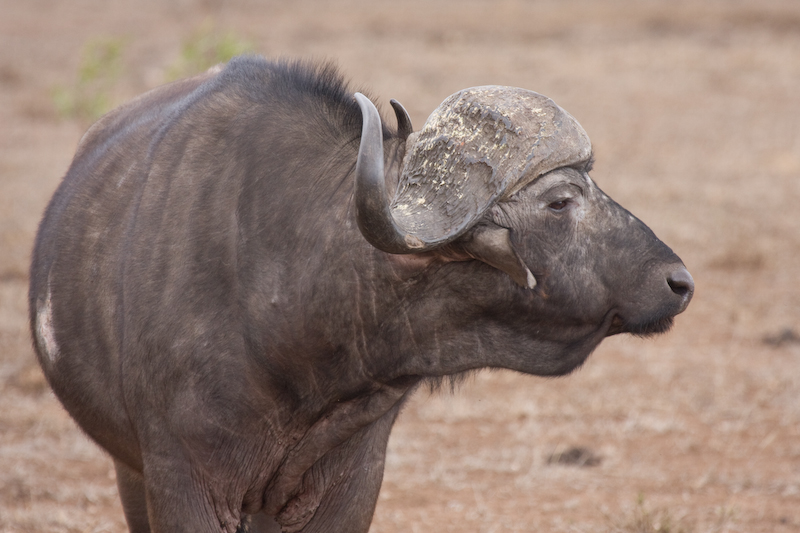 Cape Buffalo chewing his cud.