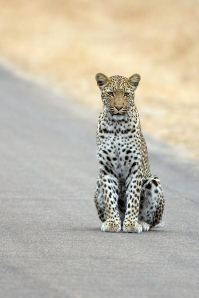 Female Leopard on the road in Kruger Park.  She just sat there for about 5 minutes, then moved off.