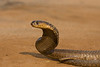 Snouted Cobra.  Taken by remote control.