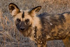 African Wild Dog.   These are the wolves of Africa.