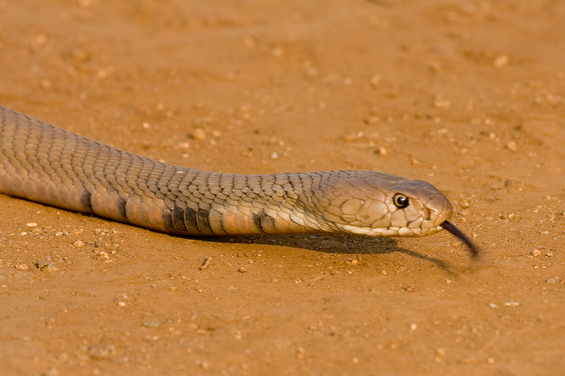 Mozambique Spitting Cobra.   These snakes have a nasty bite and can also spit venom into an attackers eyes causing intense pain and swelling around the eyes.