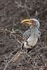 Southern Yellow-Billed Hornbill.