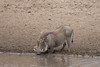 Warthog taking a drink.  They get down on their front knees.