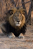 This male lion had a beautiful black mane.