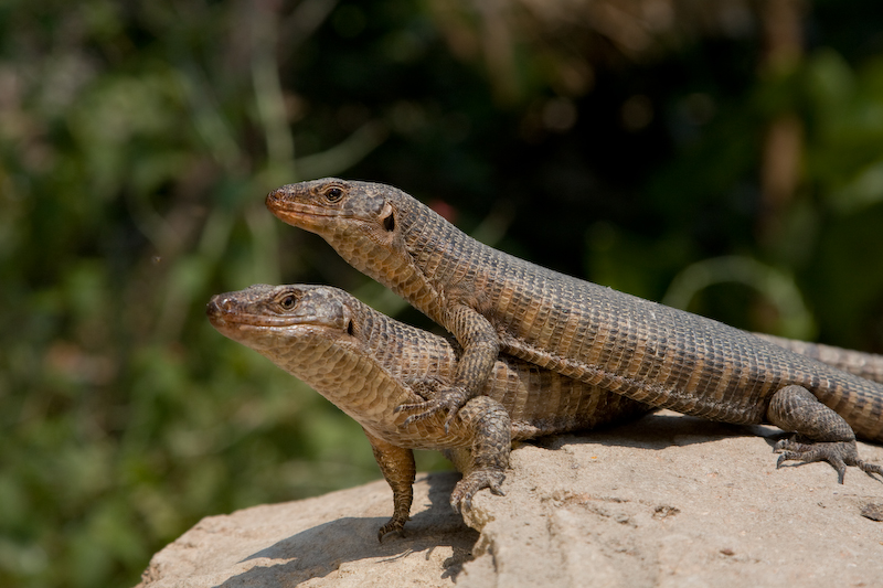 Giant Plated Lizards