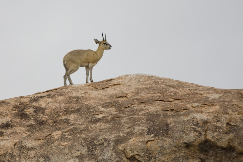 The Klipspringer likes rocky habitats